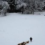 Sheep in snowy St Jean de Sixt